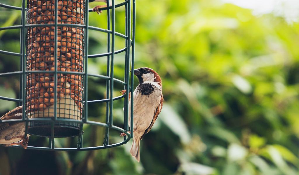 tree sparrow eating off a bird feeder